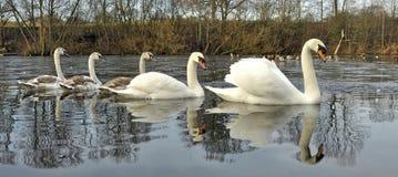 Familia del cisne mudo en invierno Fotos de archivo libres de regalías