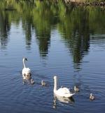 Familia del cisne mudo en su primera excursión Imágenes de archivo libres de regalías
