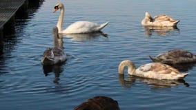 Familia del cisne que alimenta con un ganso canadiense al frente almacen de video