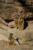 Familia del ` de los lémures Imagenes de archivo