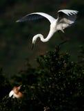 Familia del Egret Foto de archivo