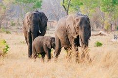 Familia del elefante Fotografía de archivo