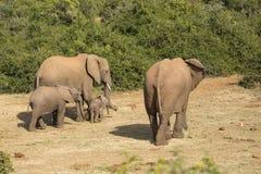 Familia del elefante con el bebé minúsculo Imagen de archivo libre de regalías