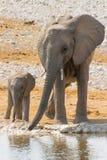 Familia del elefante con el becerro en el waterhole Imagenes de archivo