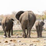 Familia del elefante con el becerro en el waterhole Imágenes de archivo libres de regalías