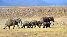 Familia del elefante: El mamífero más grande en pista Imágenes de archivo libres de regalías