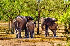 Familia del elefante en el agujero de riego de Gat de la bebida de Olifants en el parque nacional de Kruger imagen de archivo
