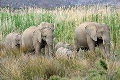 Familia del elefante en el movimiento Fotos de archivo libres de regalías