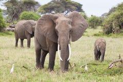 Familia del elefante en Kenia fotos de archivo libres de regalías