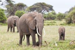 Familia del elefante en Kenia foto de archivo libre de regalías