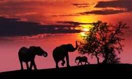 Familia del elefante en la puesta del sol Imágenes de archivo libres de regalías