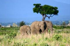 Familia del elefante en los llanos africanos Fotografía de archivo libre de regalías