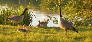 Familia del ganso cerca del río Imagen de archivo