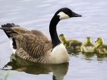 Familia del ganso de Canadá Fotografía de archivo