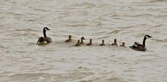 Familia del ganso de Canadá Fotos de archivo libres de regalías