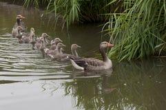 Familia del ganso en agua Fotografía de archivo libre de regalías
