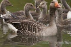 Familia del ganso en agua Imágenes de archivo libres de regalías