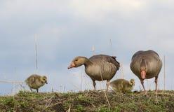 Familia del ganso silvestre que pasta imagen de archivo