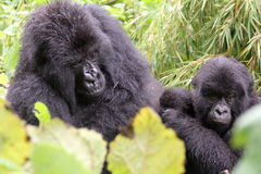 Familia del gorila Fotos de archivo libres de regalías