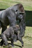 Familia del gorila Fotografía de archivo
