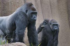 Familia del gorila Foto de archivo