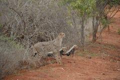Familia del guepardo Foto de archivo