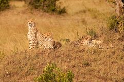Familia del guepardo en Kenia fotografía de archivo