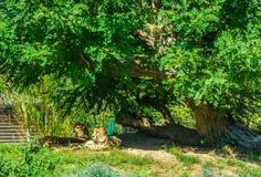 Familia del guepardo que se sienta debajo de un árbol grande en un paisaje de la naturaleza foto de archivo