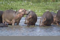 Familia del hipopótamo Imagen de archivo