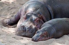 Familia del hipopótamo Fotografía de archivo