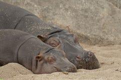 Familia del hipopótamo Fotografía de archivo libre de regalías
