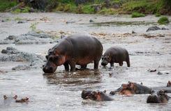 Familia del Hippopotamus Imagenes de archivo