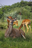 Familia del impala Imágenes de archivo libres de regalías