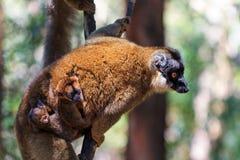 Familia del lémur Fotos de archivo libres de regalías