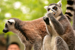 Familia del lémur en paseo Imagen de archivo