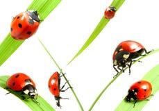 Familia del Ladybug Foto de archivo libre de regalías