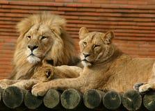 Familia del león Imágenes de archivo libres de regalías