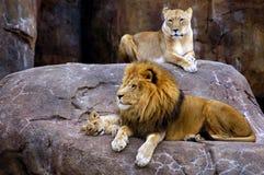 Familia del león Imagen de archivo