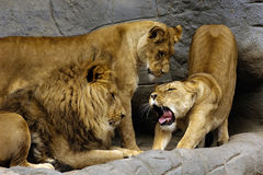 Familia del león Imagen de archivo libre de regalías