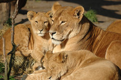 Familia del león Fotografía de archivo libre de regalías