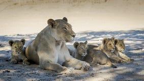 Familia del león que miente en la hierba Foto de archivo libre de regalías