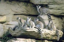 Familia del Lemur Ring-tailed Foto de archivo libre de regalías