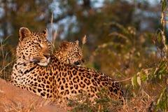 Familia del leopardo Fotografía de archivo