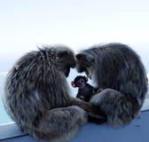Familia del Macaque Fotos de archivo