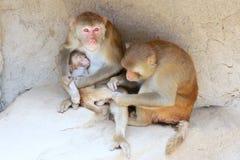 Familia del Macaque fotografía de archivo