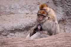 Familia del macaque de Barbary Fotografía de archivo