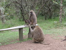 Familia del mono Foto de archivo