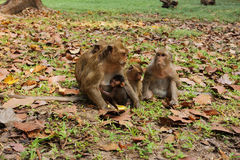 Familia del mono de Macaque en la selva de Camboya fotografía de archivo libre de regalías