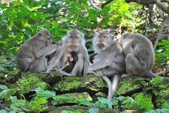 Familia del mono en el mono sagrado Forest Temple de Bali Imagen de archivo