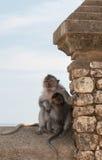 Familia del mono. Madre y bebé Imagen de archivo libre de regalías